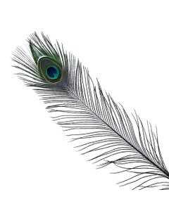 Peacock Feather Eyes Stem Dyed - 25-40 Inch - 10 PCS - Black