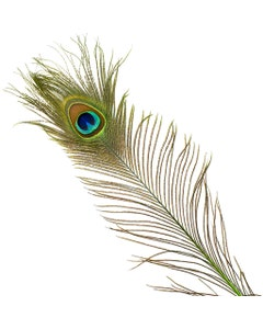 Peacock Feather Eyes Stem Dyed - Lime