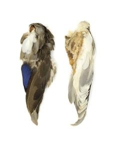 Duck Wings Natural Mallard