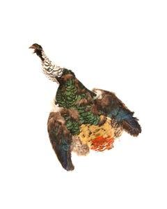 Lady Amherst Pheasant Pelt #2 - Natural-WC