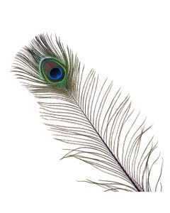 Peacock Feather Eyes Stem Dyed - 25-40 Inch - 10 PCS - Purple