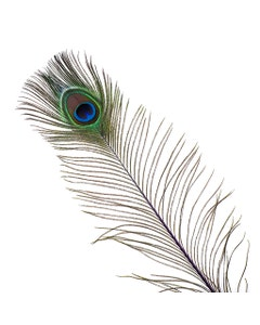 Peacock Feather Eyes Stem Dyed - 25-40 Inch - 10 PCS - Regal