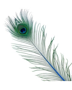 Peacock Feather Eyes Stem Dyed - 25-40 Inch - 10 PCS - Dark Turquoise